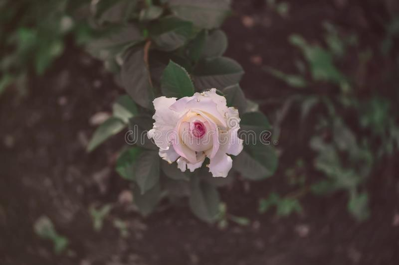 Little pink roses vintage style dark tone.  royalty free stock photography