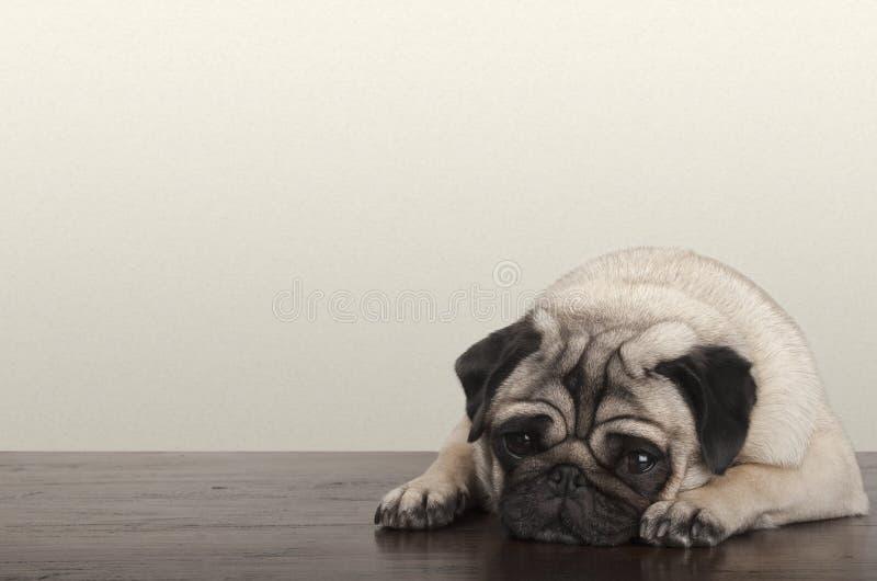 little pitiful sad pug puppy dog, lying down on wooden floor royalty free stock photo