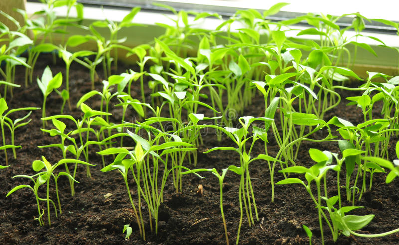 Little plants royalty free stock photo