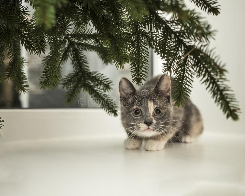 Little playful cat sits on a window sill at the window under the. Cute little playful cat sits on a window sill at the window under the spruce branches royalty free stock image