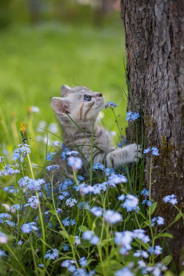 Little Playful Gray Kitten Play and Run on a Green Grass stock photography