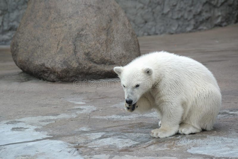 Little polar bear. Little lonely white polar bear royalty free stock image