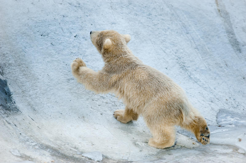 Little polar bear baby goes up royalty free stock images