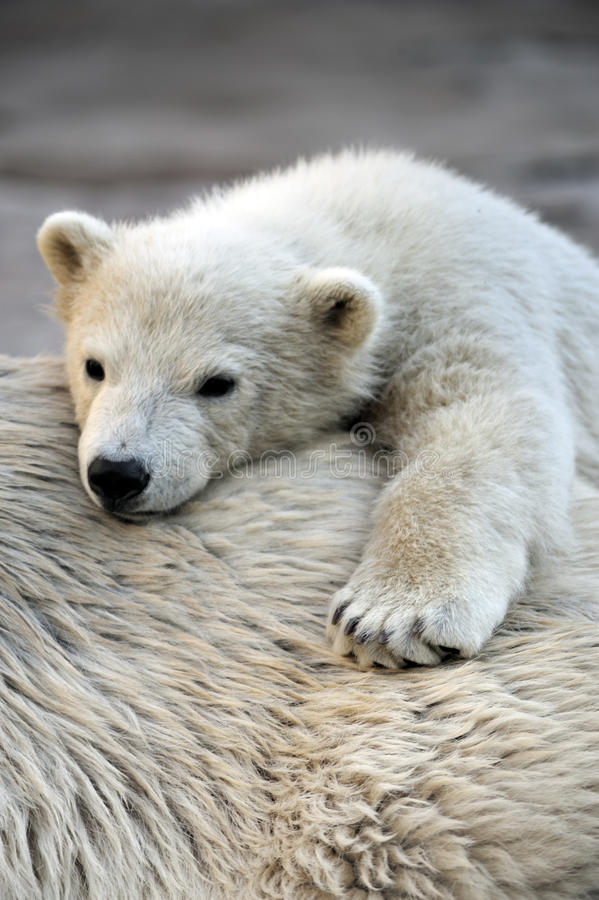 Download Little Polar Bear Cub Having A Rest Royalty Free Stock Images - Image: 14074419