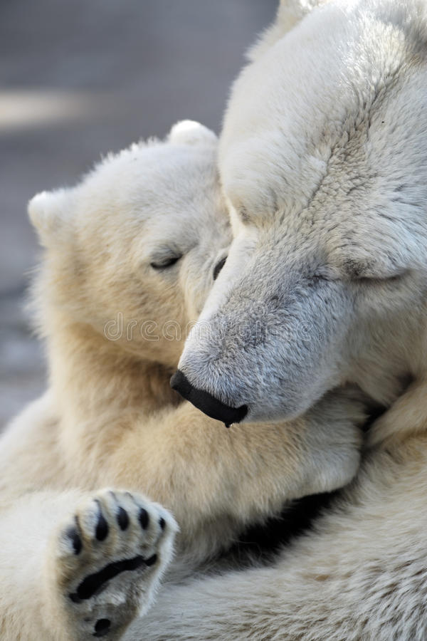 Little polar bear cub playing with his mom stock photos