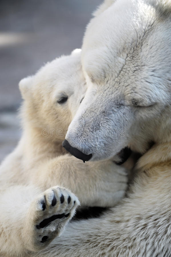 Little polar bear cub playing with his mom royalty free stock images
