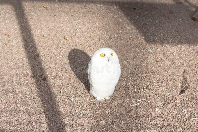 The little polar owl is white stock photo