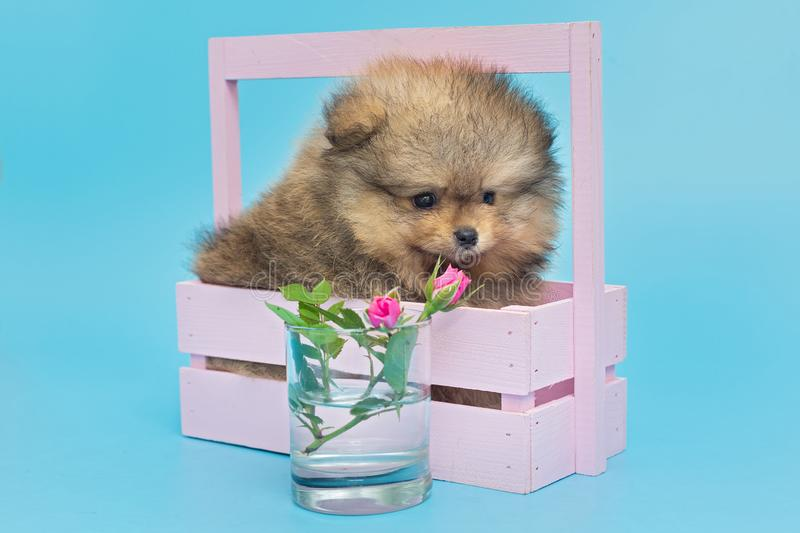 Little Pomeranian puppy in  wooden box royalty free stock image