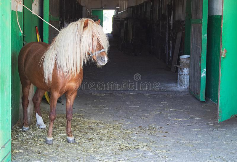 Little pony, ginger stallion in the stable stock photography