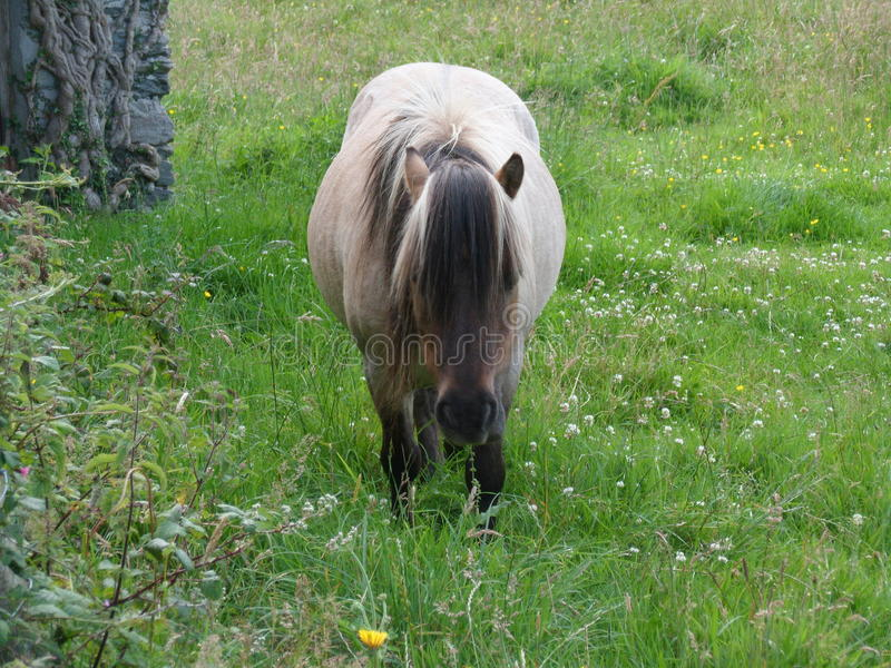 Little Pony Grazing stock images