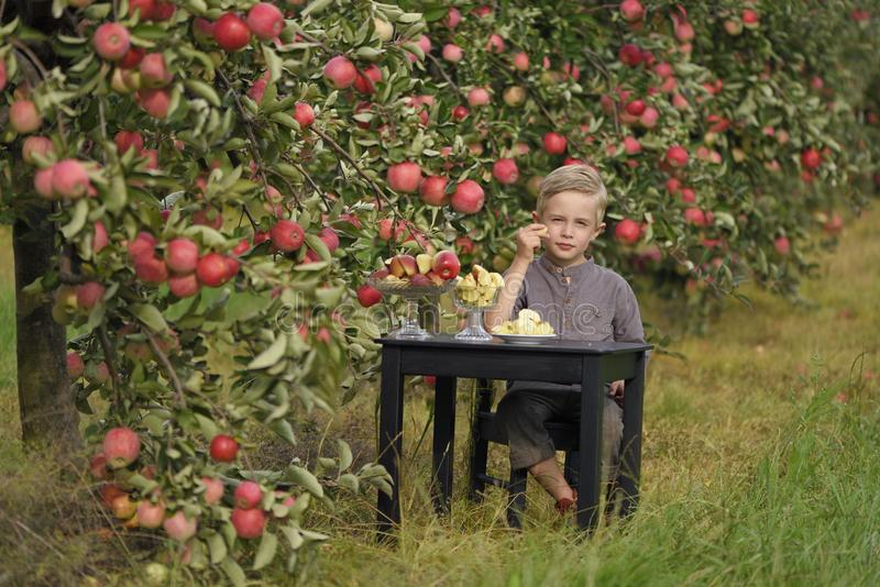 A cute, smiling boy is picking apples in an apple orchard and holding an apple. royalty free stock images