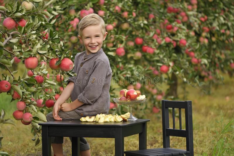 A cute, smiling boy is picking apples in an apple orchard and holding an apple. royalty free stock image
