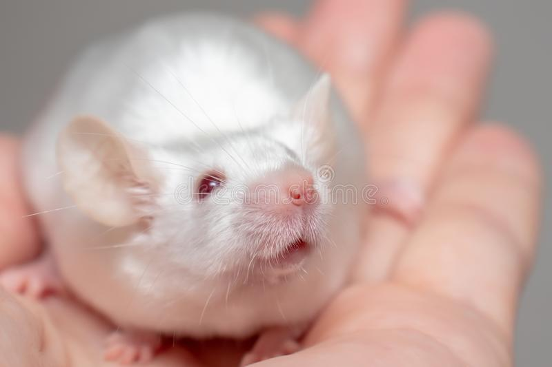 Little pretty cute white laboratory mouse on a hand close up.  stock images