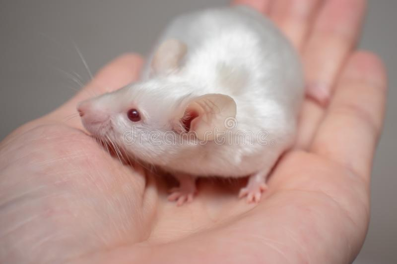 Little pretty cute white laboratory mouse on a hand close up.  royalty free stock images