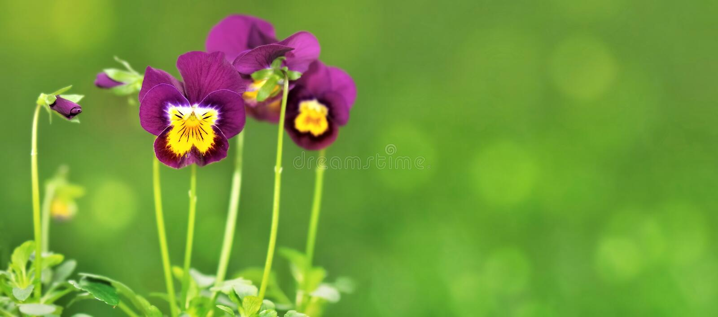 Little pretty violas. Little violas on green background royalty free stock photo