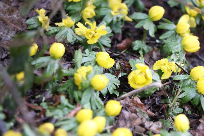 Little pretty yellow flowers royalty free stock images