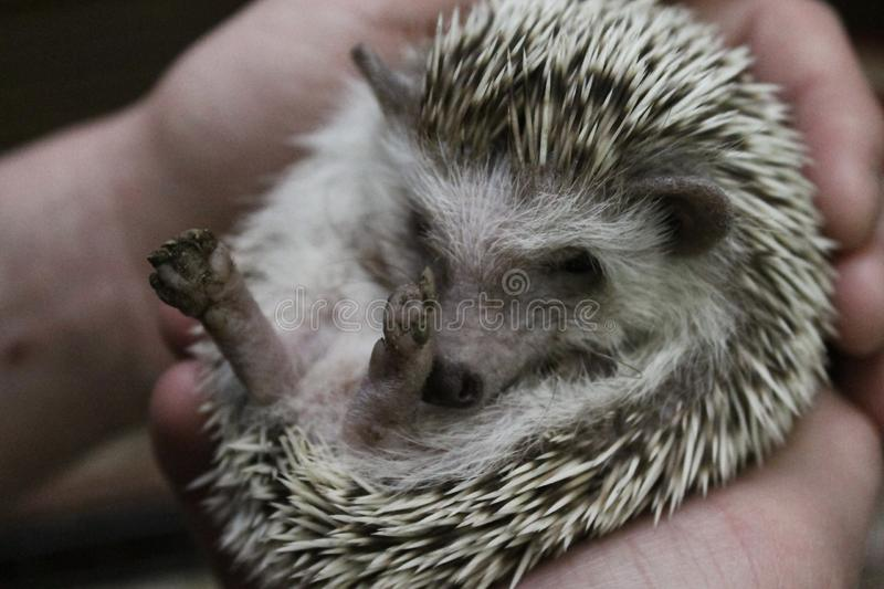 Little prickly hedgehog stock photo