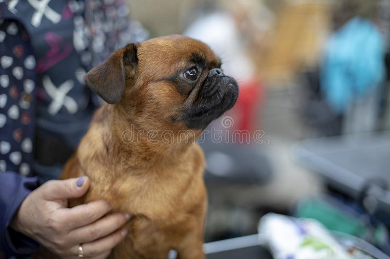 Little pug dog sitting on a  woman lap, held by a hand with lilac nails. Little pug dog sitting on a  woman lap, held by a hand with lilac nails, at a dog show stock images