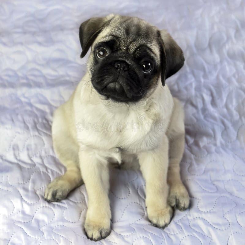 Pug puppy sitting on a blanket. Little pug puppy sitting on a blanket stock photo