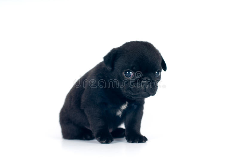 Little pug puppy at studio. Little one month pug puppy at studio isolated on white royalty free stock photography