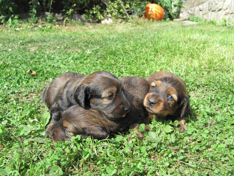 A little puppies of a dachshund stock photo