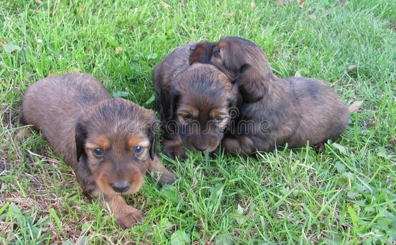 A little puppies of a dachshund stock images