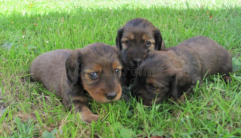 A little puppies of a dachshund stock image