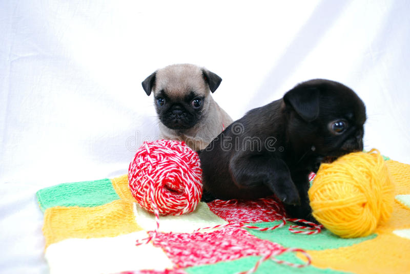 Little puppies Mopsa play with balls of woolen threads. Little black and beige puppies Mopsa play with balls of woolen threads royalty free stock images