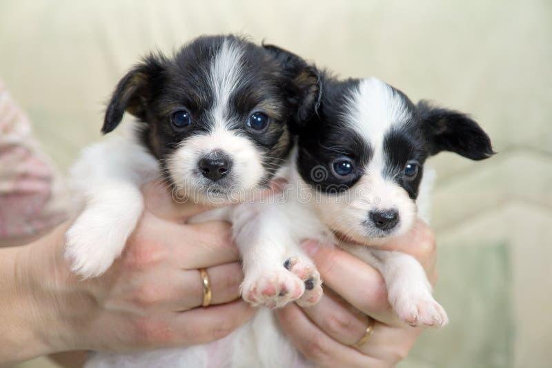 Little Puppies Papillon stock photos