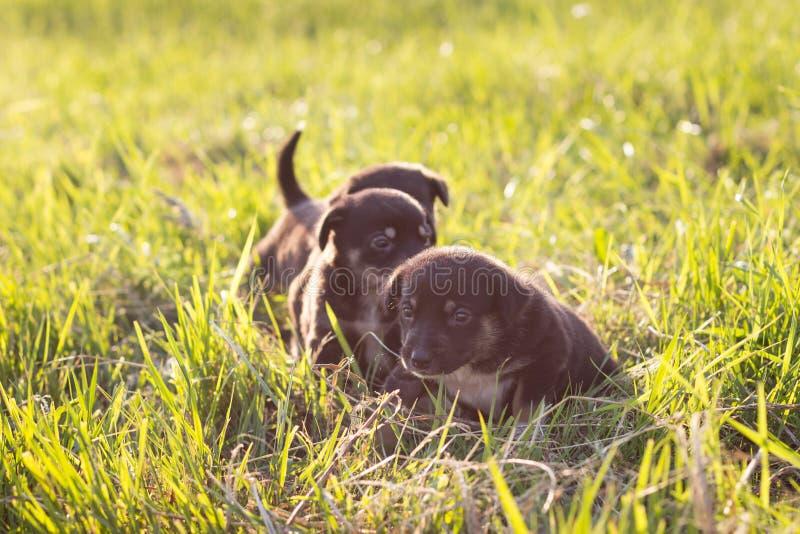 Little puppies running on grass, soft light stock images