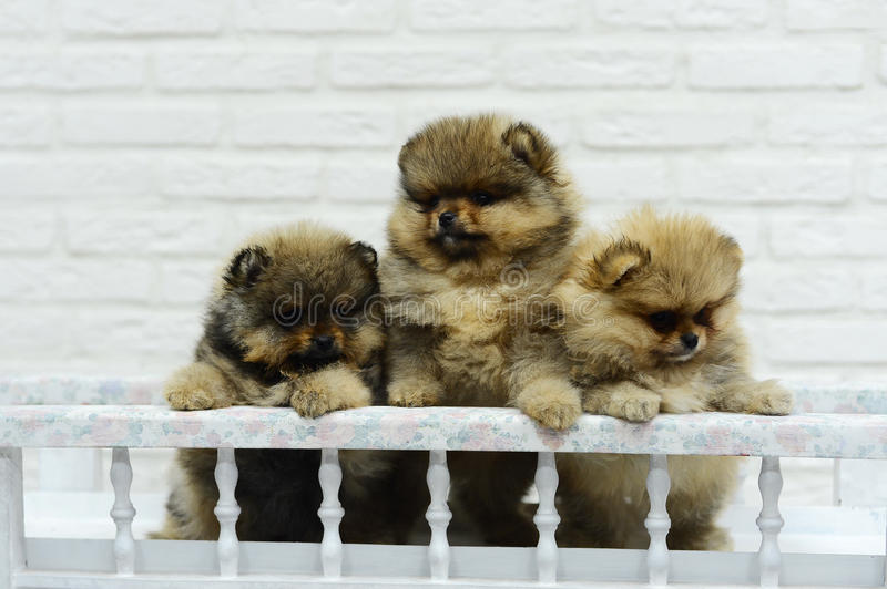 Little puppies Spitz playing in Studio on white background stock image