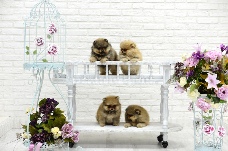 Little puppies Spitz playing in Studio on white background royalty free stock images