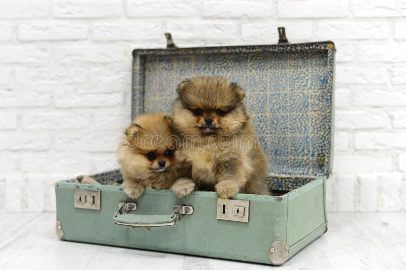Little puppies Spitz sit and play in a suitcase on a white background in Studio stock photos