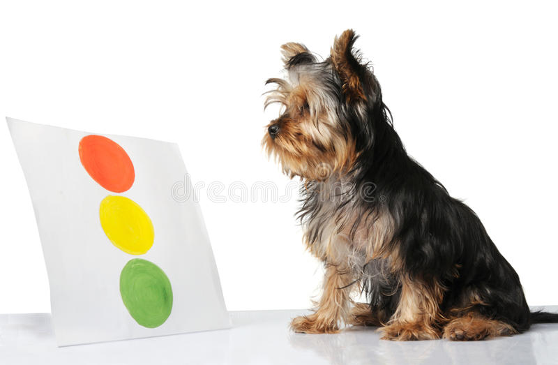 Little puppy. Looking at the traffic lights drawing royalty free stock image