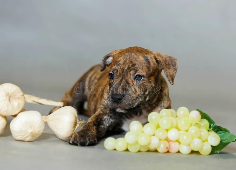 Little puppy American pit bull Terrier. In Studio stock images