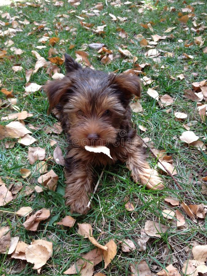 Little puppy in Autmn leaves. Cute brown puppy in Autmn leaves stock image