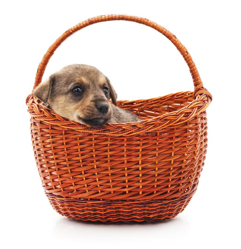 Little puppy in a basket. On a white background royalty free stock images