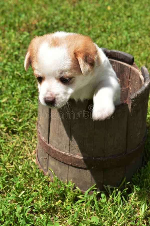 Little puppy in the basket royalty free stock image