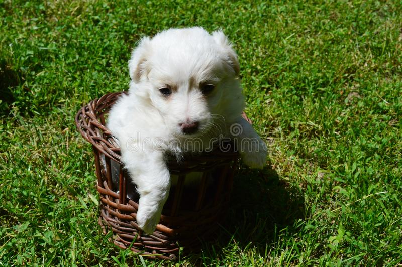 Little puppy in the basket stock photos