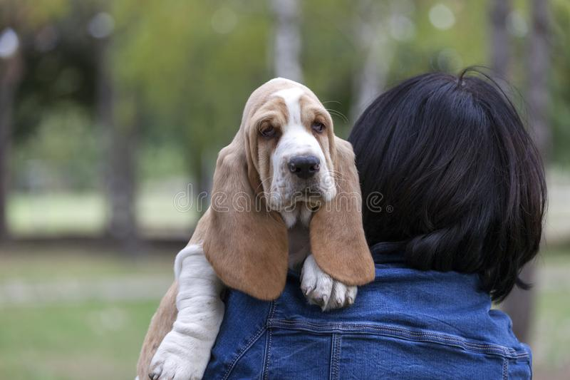 Little puppy likes the most when his owner carries it in his han. Little puppy Basset Hound has already been tired of walks, so his owner carries it in his hands royalty free stock photo