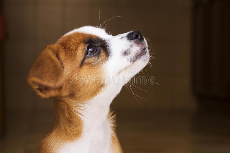 Little puppy. Little brown and white mixed race puppy stock image
