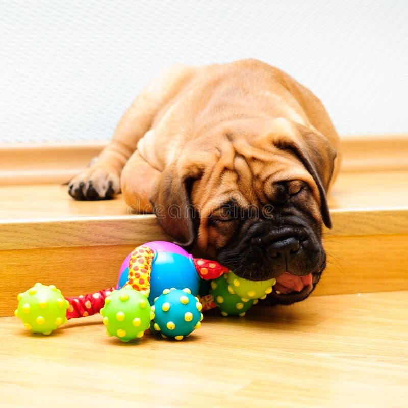 Download Little puppy bullmastiff stock photo. Image of flat, doggy - 26243126