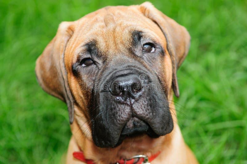 Download Little puppy bullmastiff stock photo. Image of breed - 26926640