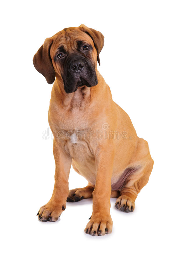 Little puppy bullmastiff. Sitting on a white background, isolated stock photo