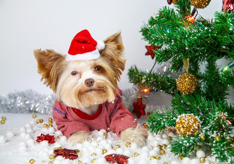 Little puppy celebrates new year stock images