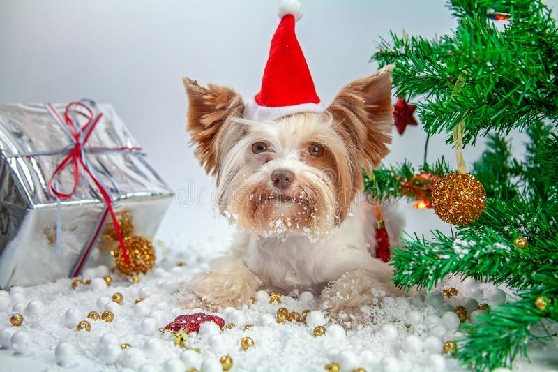 Little puppy celebrates new year stock photos