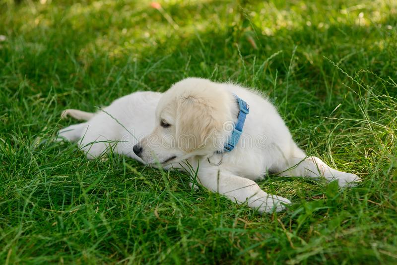 Little puppy in close up. Of the camera lies on the grass. Beautiful dog looks to the right to find something to play with stock photos