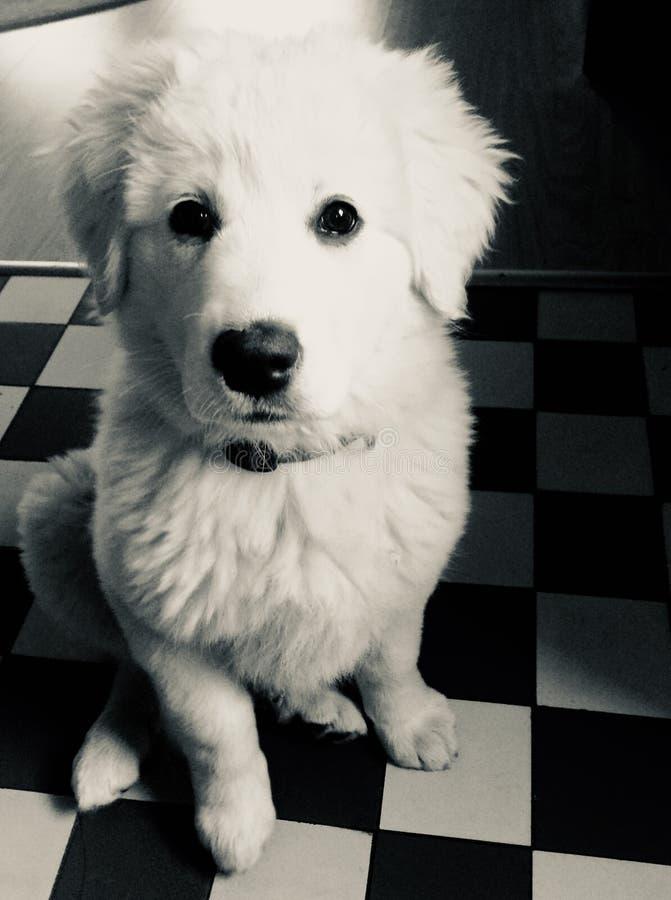 Little puppy. Little cute puppy stock photography