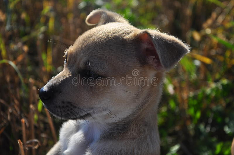 Little puppy. Little cute puppy curiously looking around stock photography