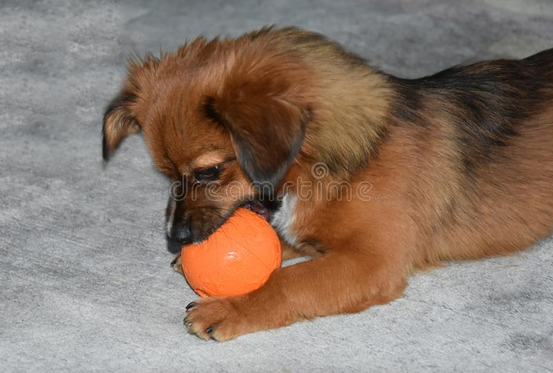 Little puppy dog with fodder ball stock photography